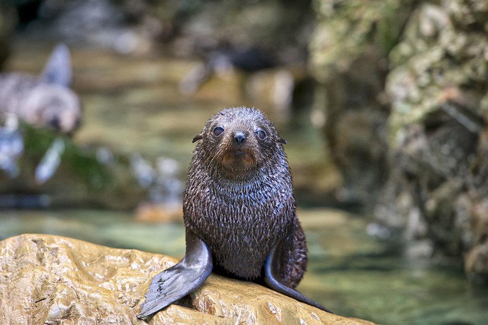 Ohau Stream Seal Pup, Kaikoura