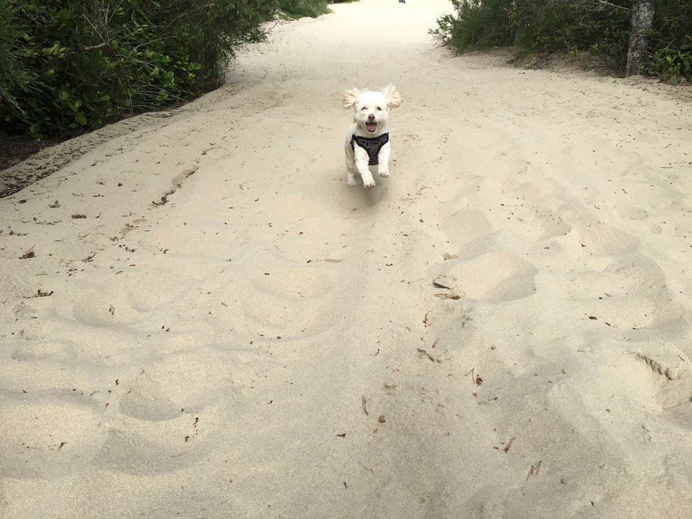 Thor dog at Oregon Dunes National Recreation Area
