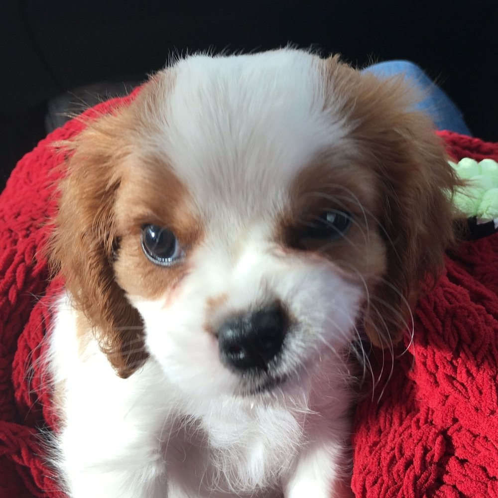 Drooly baby Barkley the cavalier