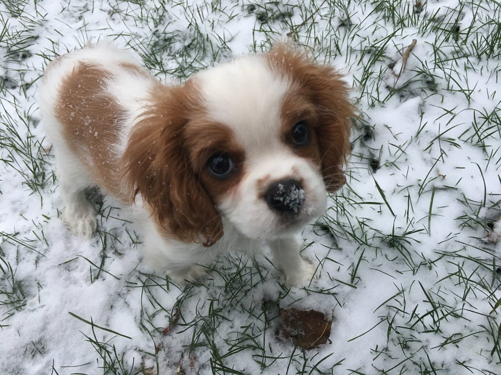 Barkley the cavalier with snow on his nose