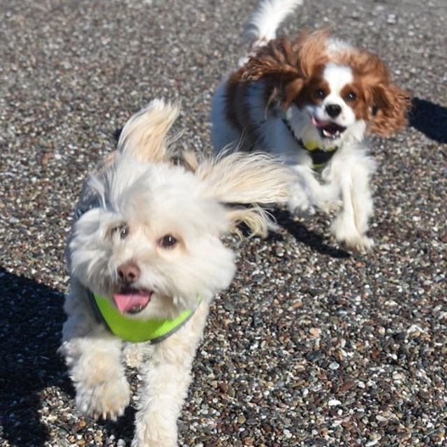When you're trying to take a pic with your bestie, but all of them look blergh 🤳 Life is ruff sometimes! #beachday 🐶 🐶 🐶 🐶  #pomapoosofinstagram #pomapoolove #pomapoolife #pomapoos #cavaliersofinstagram #cavalierlove #dogfriendship #dogfriends #dogfriendsforever #dogbeachday #dogbeaches #motorhomelife #motorhomes #motorhomeadventures #motorhometrip #funontheroad #rvtrip #rvcampingtrip #rvtrips #rvcamping #rvcamp #motorhometravel #motorhometravels