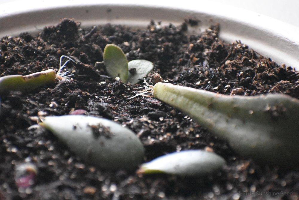 Succulent starts