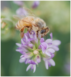 Bee Pollinating Lucerne – photo Jodie Goldsworthy