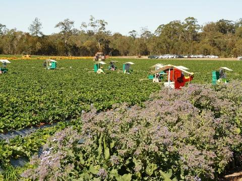 Although the bees are in the strawberry crop at the same time as the strawberry-picking farm workers, few of the farm workers receive bee stings