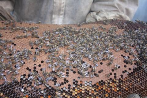 Feral Bees on brood with good stored pollen, even when Varroa is present