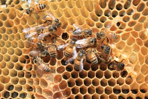 Yellow bees robbing honey