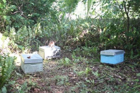 Apiary established from feral colonies