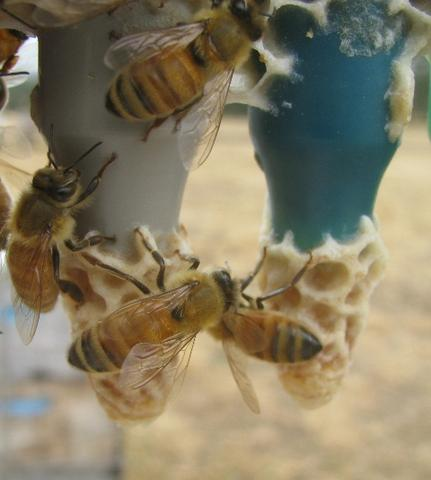 Will breeding for Varroa tolerance reduce the overall diversity of the genetic pool?