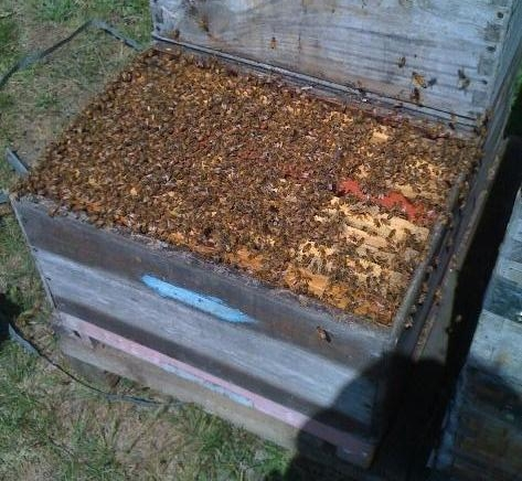 A populous single-box hive approaching swarming pitch. This hive needs space