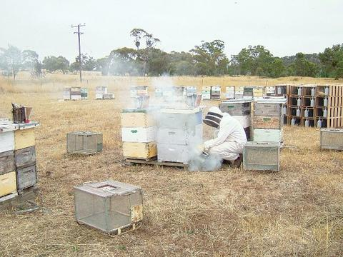 Fig.1 Smoking the hive to force young bees into the supers