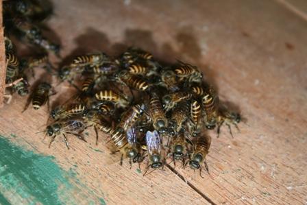 Asian honey bees (  Apis cerana  )