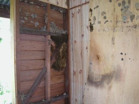 Exposed; an A. cerana colony in a wall cavity.
