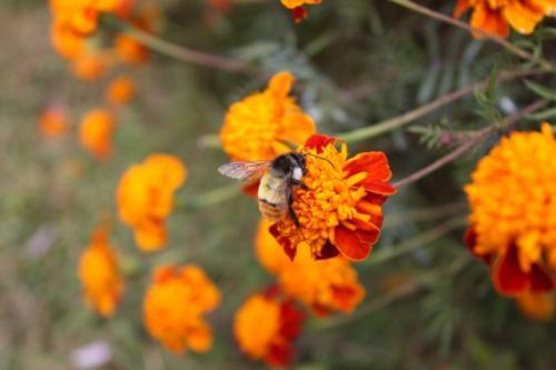 Bumblebee at 2850m at Ghandruk, Nepal