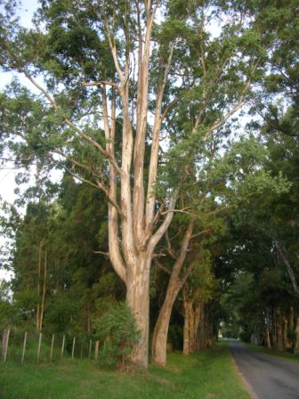 Eucalyptus on the roadside to La Paz
