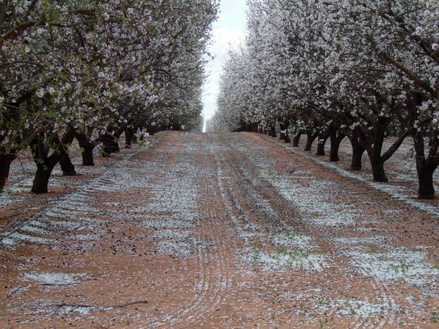 It's that time again – August, when the Almond is in blossom and thousands of beehives are trucked great distances to pollinate the orchard flowers