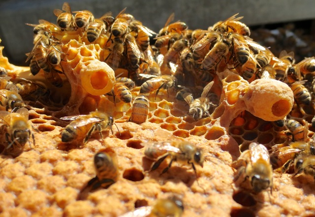 Honey bees hard at work and oblivious to the photographer! Photo courtesy Ashlee Ralla