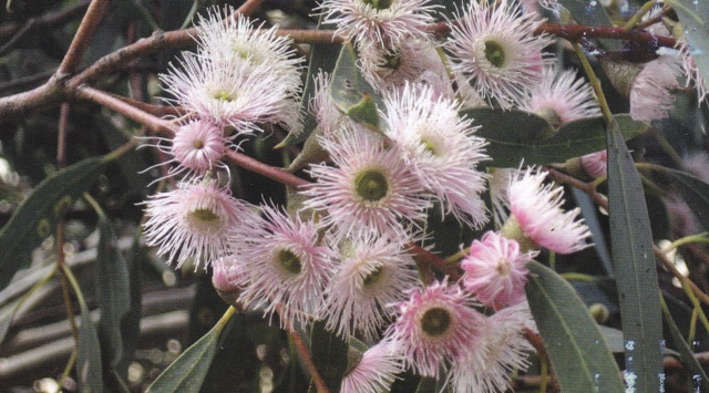 Pink flowering Blue gum, which yielded honey in Upper SE South Australia in October Photo courtesy Martin Gilbert