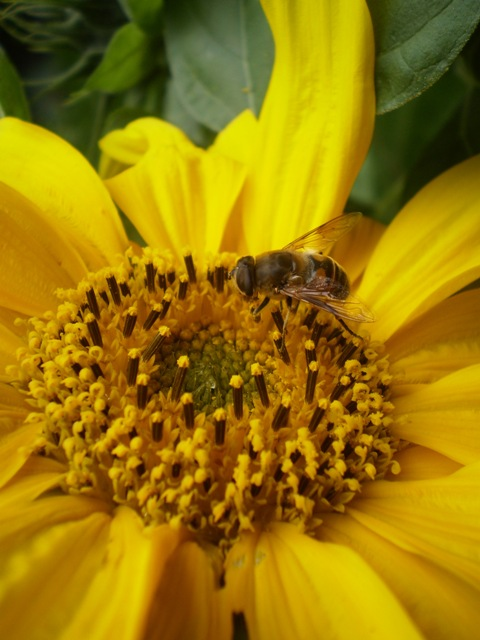 Spring has arrived – the season when bees will visit any and all flowers in pursuit of pollen and nectar Photo courtesy Annie Collenette