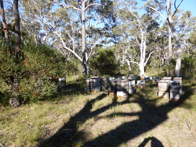 A small load of bee hives and mating nucs bedded down for winter on the NSW South Coast. The well-drained site gets full sun at midday, and the supers are full of honey from Heath-leaved Banksia, (Banksia ericifolia) which has almost finished flowering