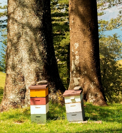 Beehives on Norfolk Island, in front of two fine specimens of the well-known Norfolk Island pines (see Inside article) Photo courtesy of Sam Malfroy and Norfolk Island Quarantine Survey
