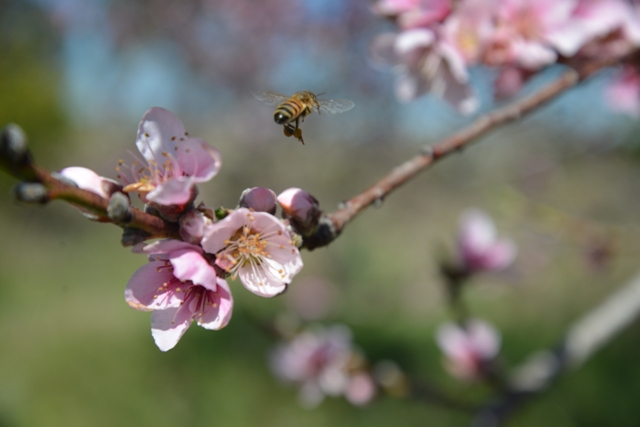 A honeybee collecting pollen from nectarine flowers Photo courtesy Wenonah Quayle