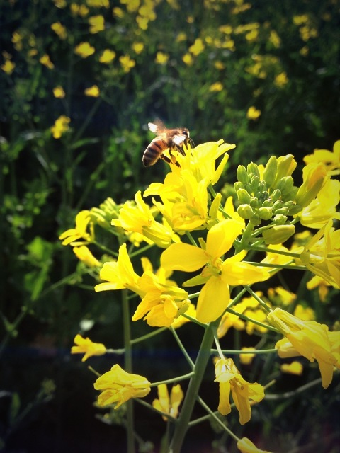 Honeybee working Canola flowers this Spring. Canola has for many years provided commercial beekeepers an opportunity for early colony build-up at the start of the season.Photo courtesy Krysteen McElroy
