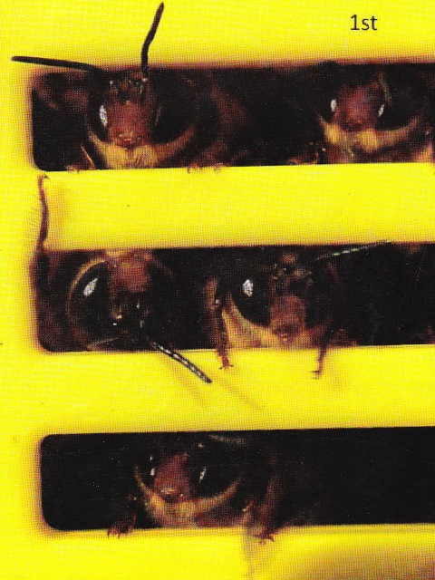 Drone bees being used on Rottnest Island for a fertility experiment as part of CYBER's work – the drones were trying desperately to escape from behind the excluder door Photo courtesy Barbara Baer