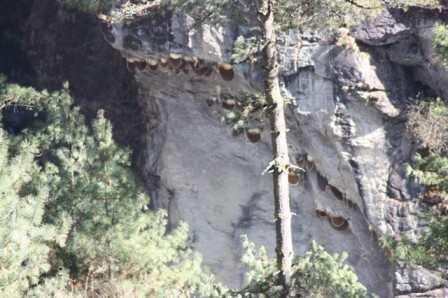 Wild hives of Apis laboriosa clinging to a cliff-face near Ghat, Nepal – altitude 3400m. The colonies of this giant honeybee migrate each winter to lower altitudes. (see Inside article)