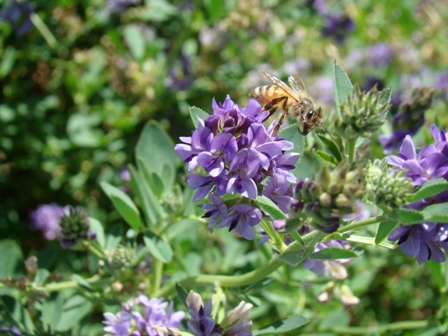 A honeybee working lucerne in South Australia this season. With the high rainfall across eastern Australia, many beekeepers have reported good honey crops from lucerne, where fields were too wet to allow haymaking Photo courtesy Mark Shinkfield