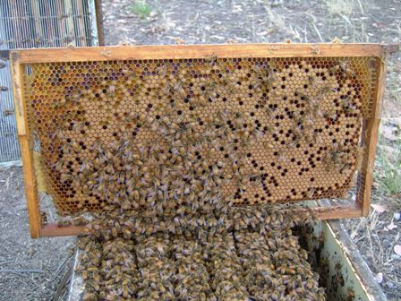 With Spring well underway, hive populations will be booming. Masses of different coloured pollens indicate a plentiful supply of protein coming into the hive