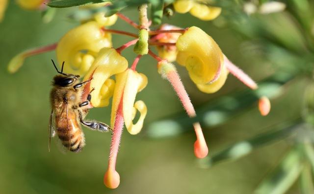 Honey bee Apis mellifera on a hybrid Grevillea 'Lemon daze' Photo courtesy Timothy Kotlar