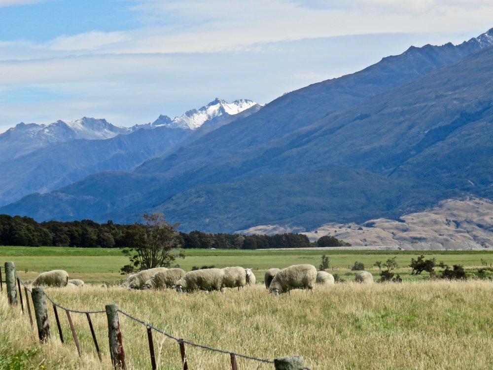 ...and more sheep!