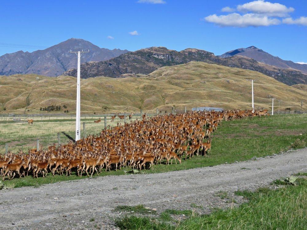 Deer farming, big business in New Zealand!