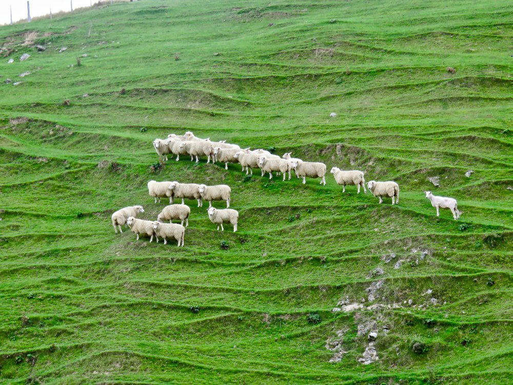 The sheep-to-person ratio has dropped, but it's still 6:1