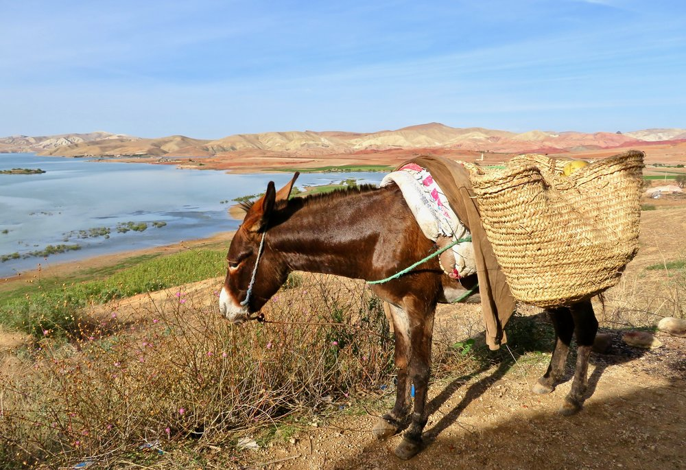 You gotta be tough to be a Moroccan donkey!