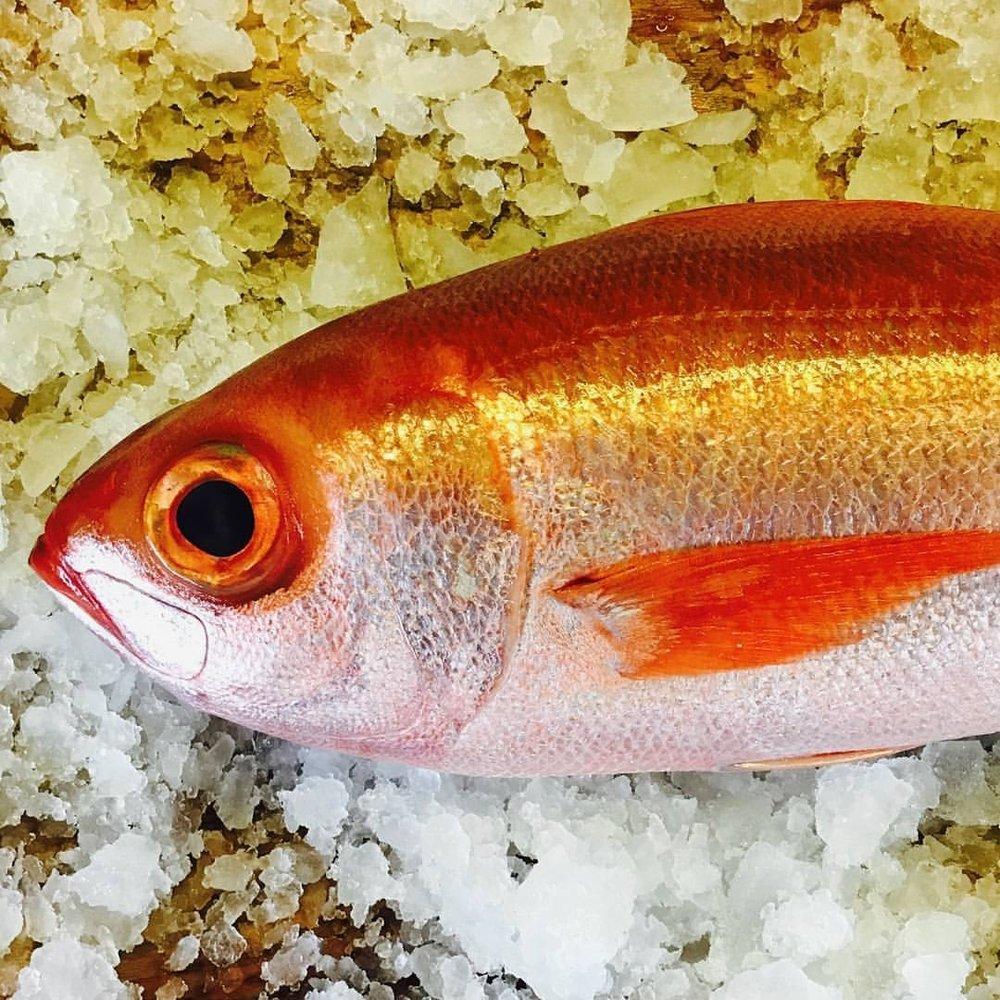 Coromandel rubyfish.JPG