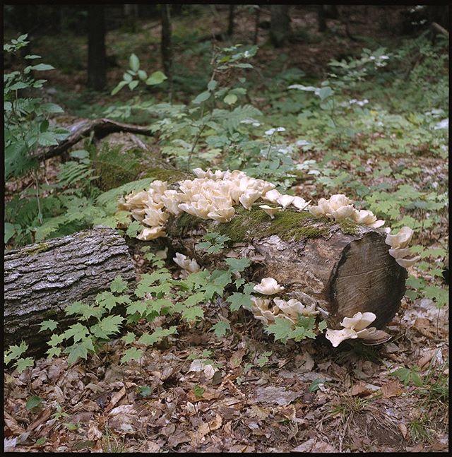 Angel wings! #mushrooms #fungi