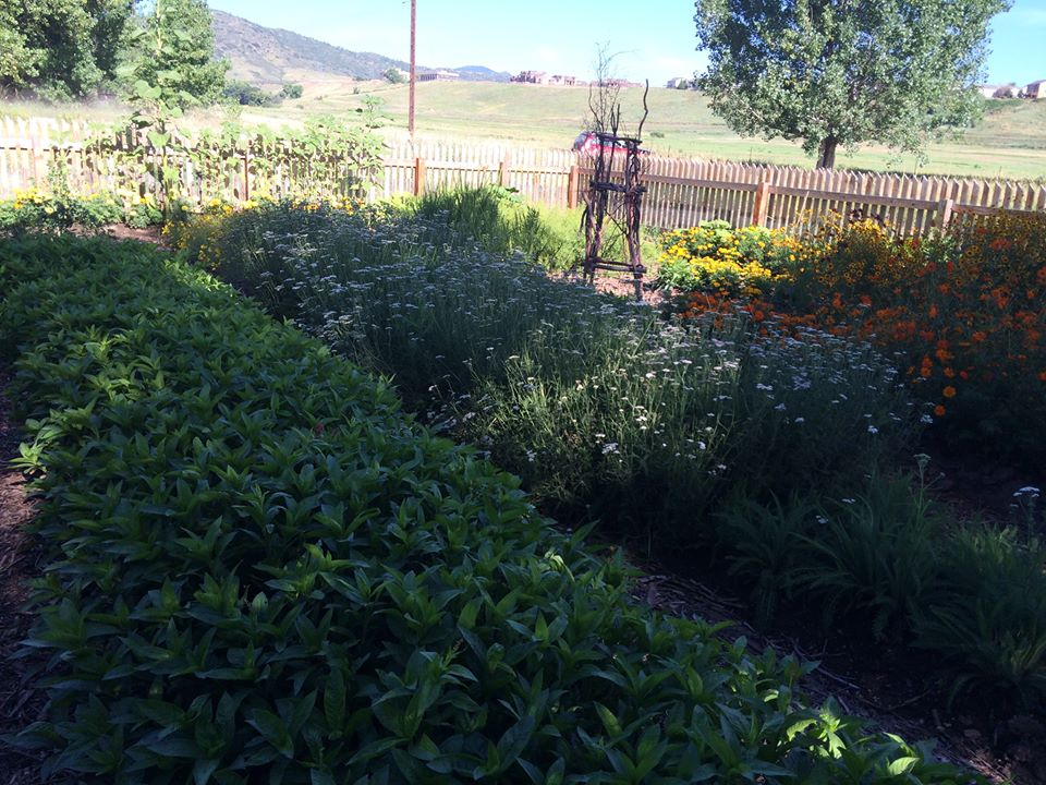 Dye Garden,Chatfield