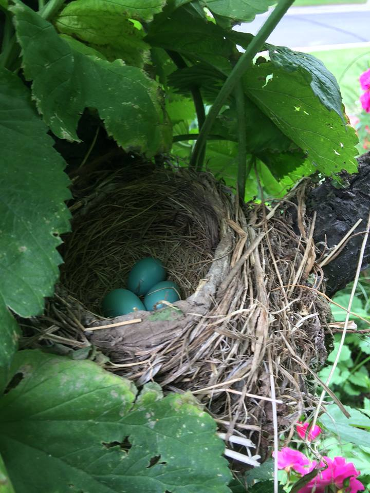 Robins nest in hops vine
