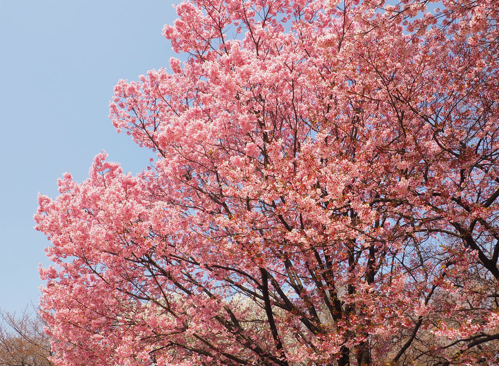 Sakura at Shinjuku Gyoen