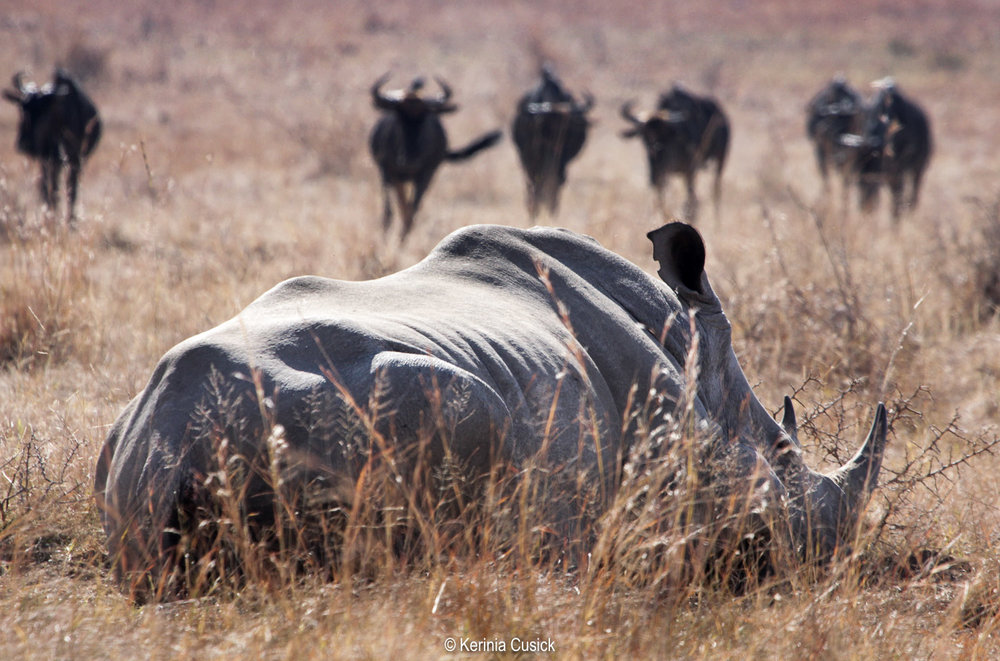 Napping Rhino and Wildebeest in Pilanesberg