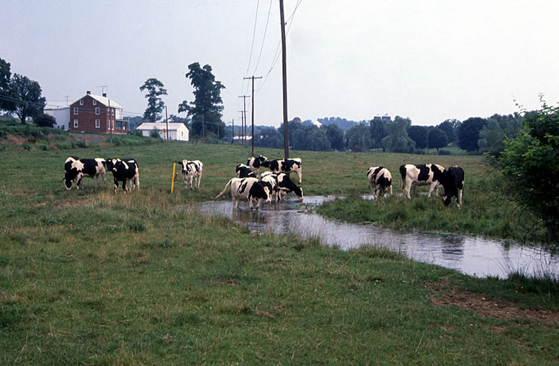 Figure 35.  Cattle encroaching on a limestoner, central Pennsylvania.