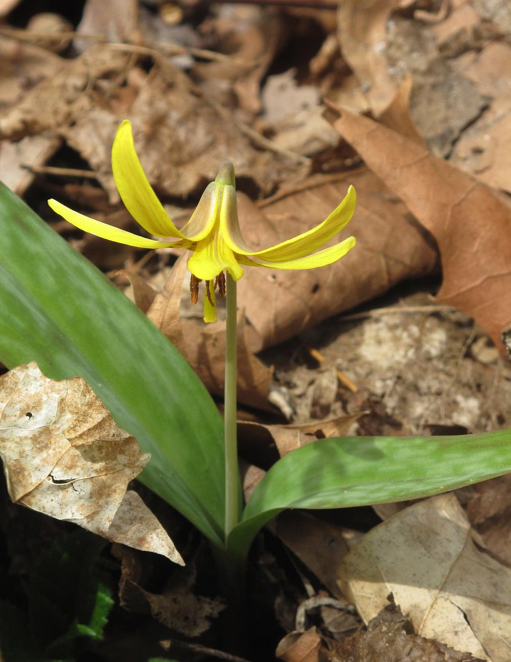 Trout Lily (Erythronium americanum)