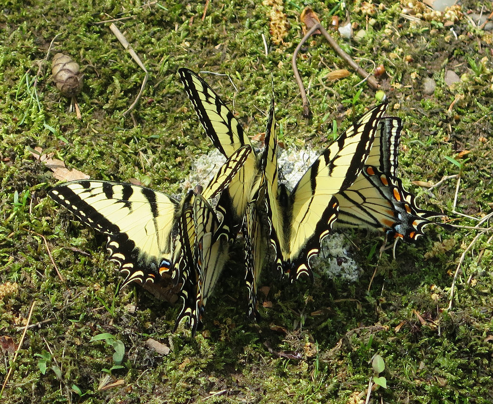 Tiger swallowtails.