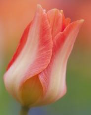 The captivating image of one tulip motivated my color choice for this project.