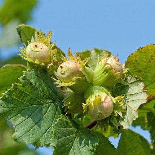 Hazelnuts ripening