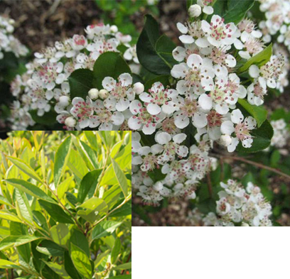 our clients often choose ARONIABERRY  - beautiful, edible, and drought tolerant