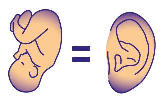 foetus-oreille.PNG