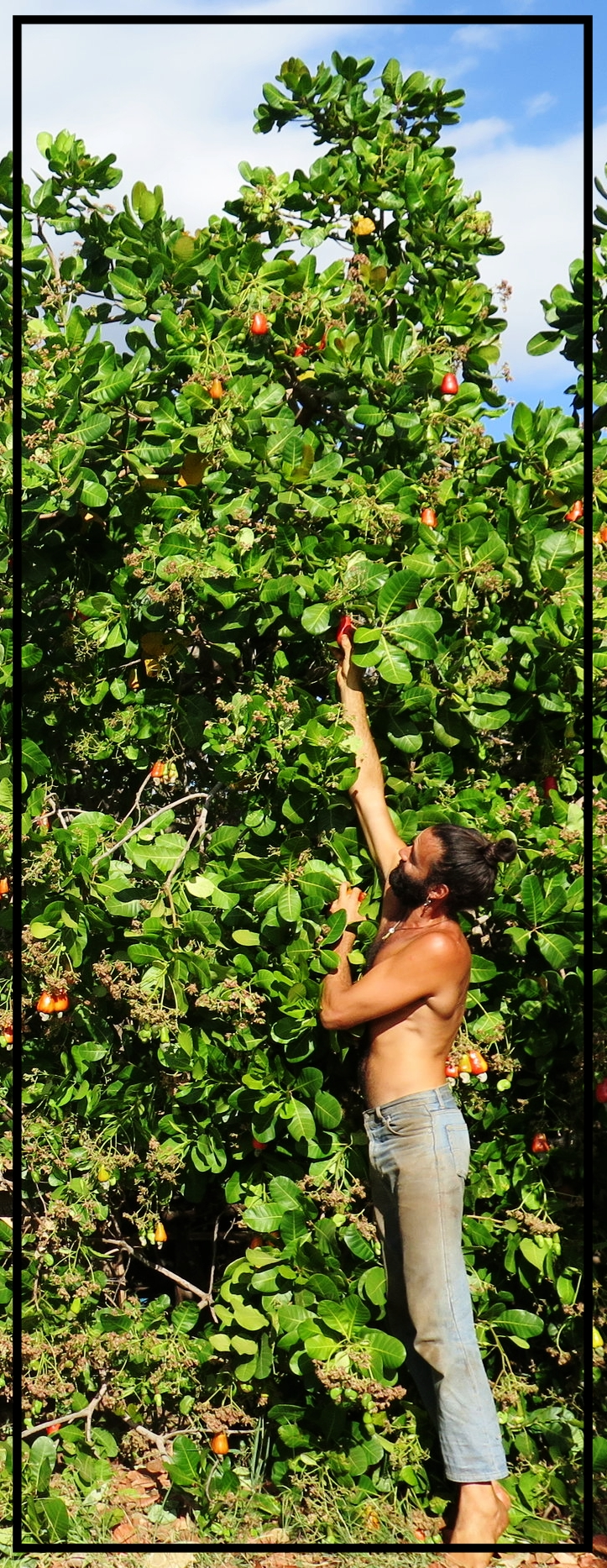 Federico reaches for a ripe cashew fruit.
