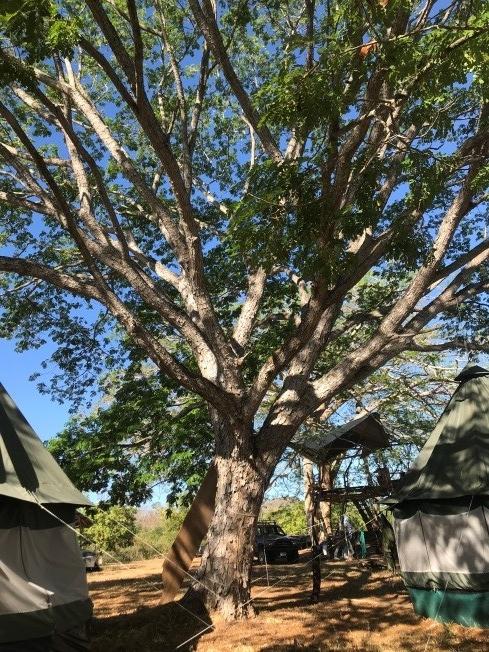 Guanacaste blanco, Gavilancillo - (Albizia niopoides)Nativo. Árbol de hasta 25 m de altura. Caducifolio. Flores blancas, observadas de febrero a junio y en noviembre. Varios usos agroforestales, ecológicos, industriales, medicinales y paisajísticos.